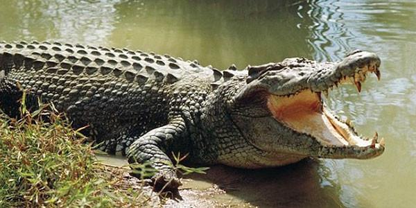 sperma di coccodrillo
